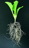 健全な苗を早期定植